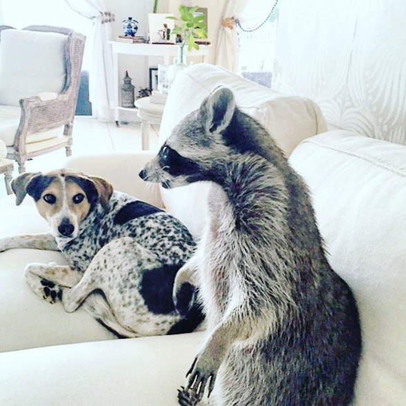 raccoon who considers himself a dog 6