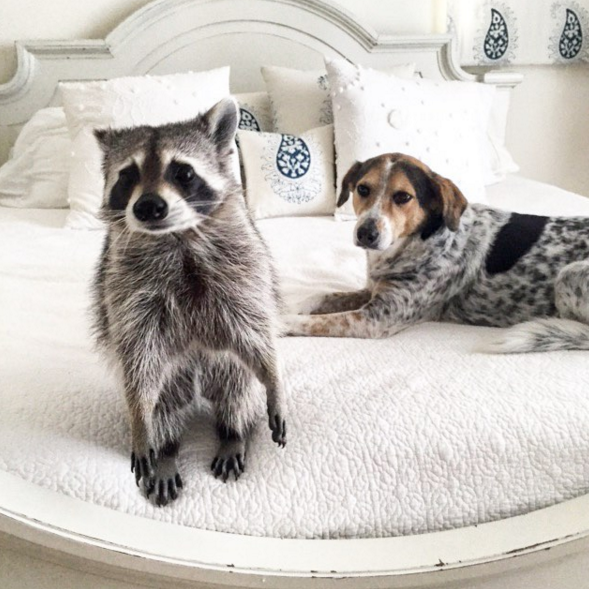 raccoon who considers himself a dog 7