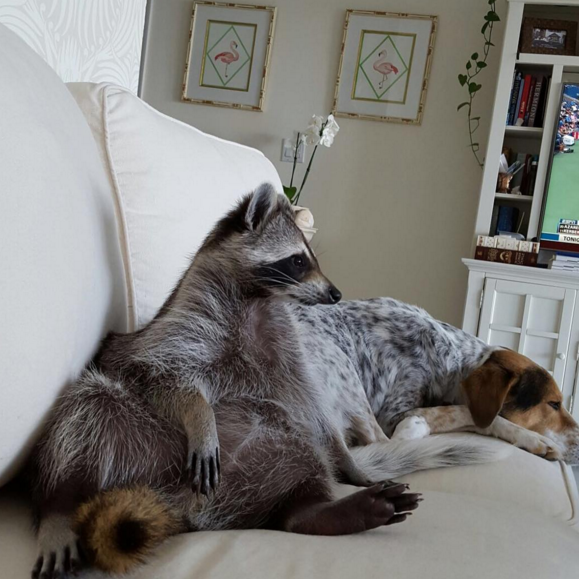 raccoon who considers himself a dog 9