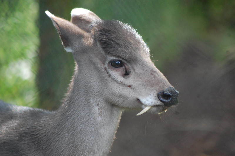 5. Tufted deer