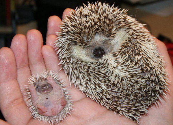 5. When you become a grandma/grandpa, your will have an adorable hedgehog grandchild