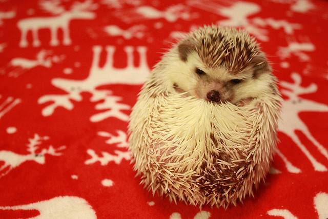 6. Hedgehog can stay alone at home and won't run away