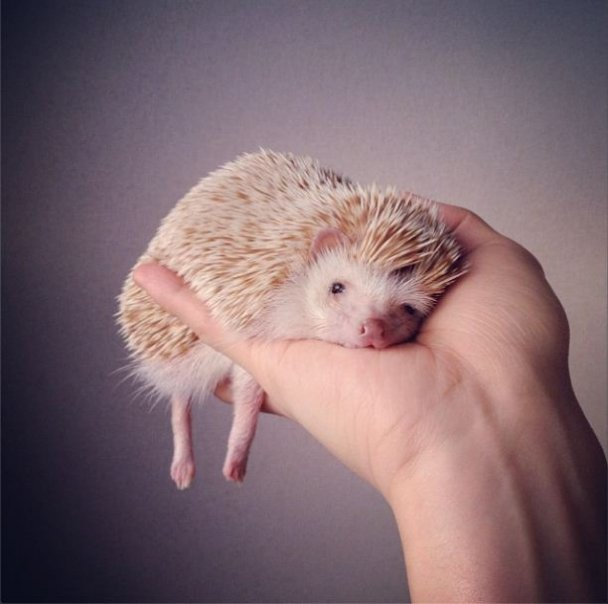 Hedgehog makes a perfect pet