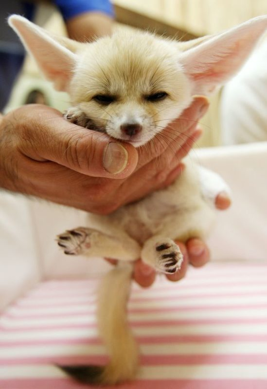 Meet Fennec fox, the cutest animal on Earth