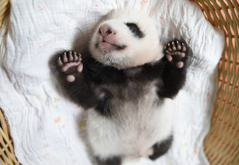 Panda baby's that will melt your heart