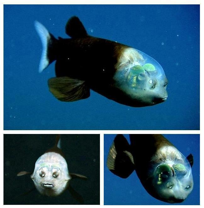 Meet Barreleye, the fish with transparent head