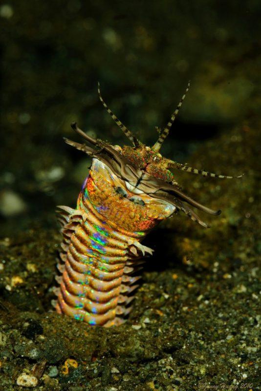 5. Bobbit worm