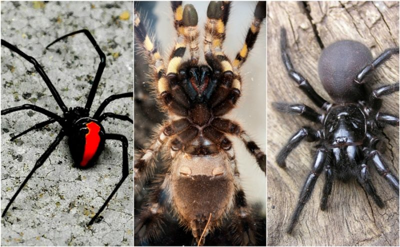 Top 10 deadly spiders