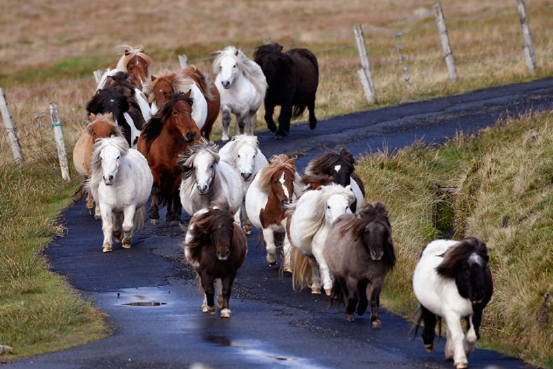 The pony island in Britain