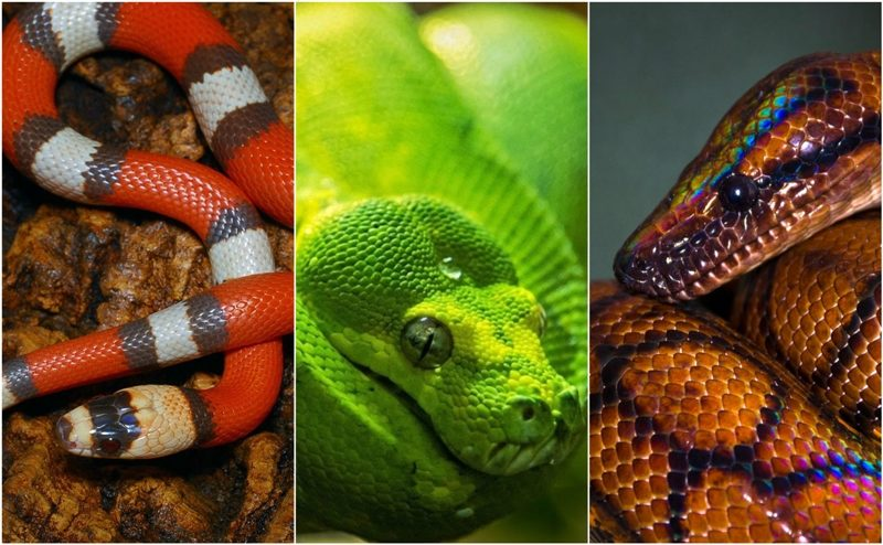 Top 10 most colorful snakes