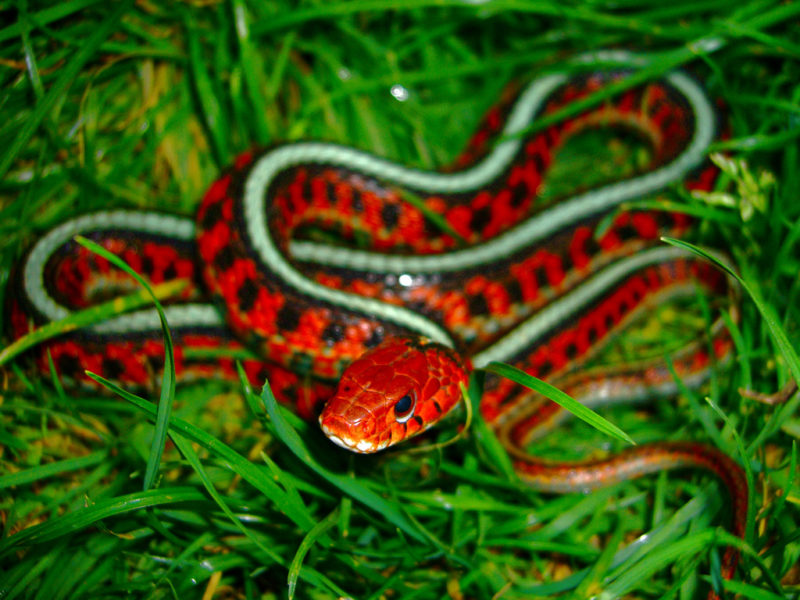 5. California red-sided snake