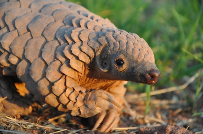Meet Pangolin, the most trafficked animal