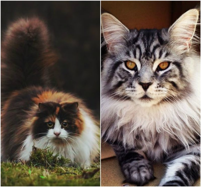 Take a look at the biggest cats ever