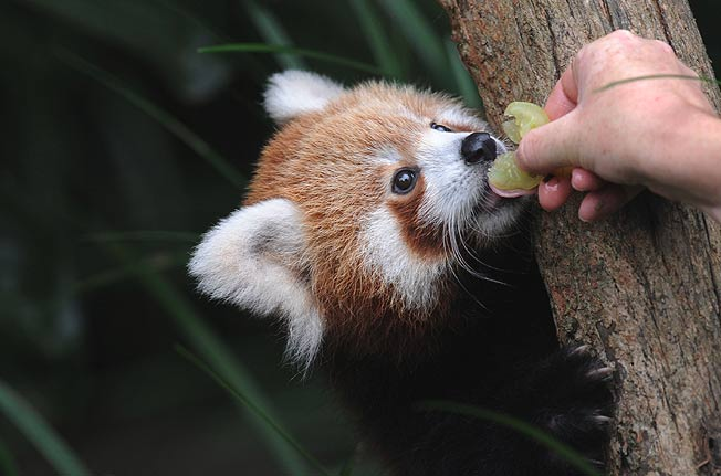 11 Things you didn't know about Red Panda