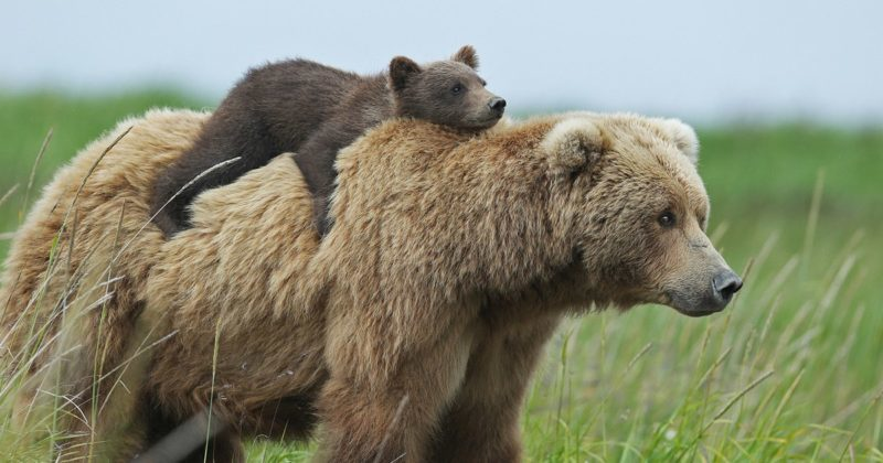 22 Amazing facts you didn't know about bears