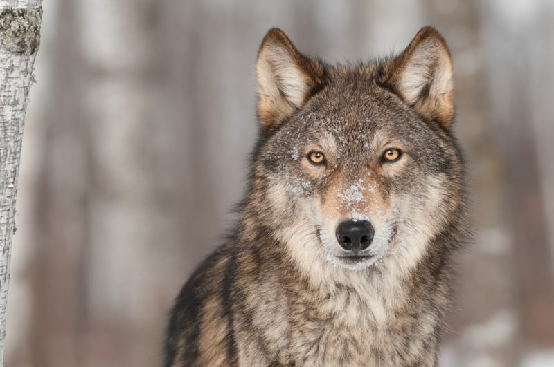 11 Surprising facts you didn't know about wolfs