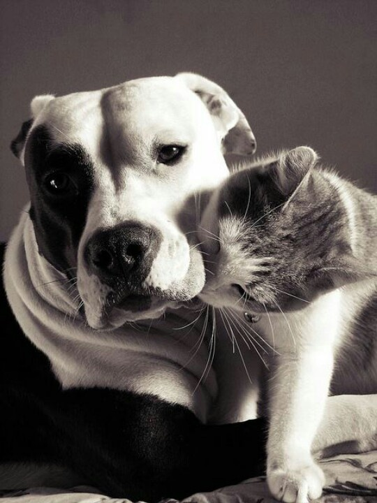 Pit bulls and cats hanging around